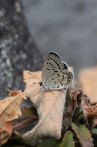 クロツバメを諦めてミヤマシジミの卵探し - 蝶超天国