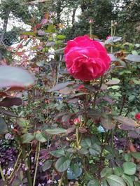 2018年10月月例会「バラの周辺整備野ばら、植栽草花整理」 - 駒場バラ会咲く咲く日誌