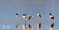 二種類シギの飛翔、お降りる所を探している、中々定まらないです。誠 - 皇 昇