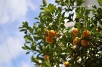 近所にみかんの木が(Ŏ艸Ŏ) - カンパーニュママの暮らしの雑貨とポメプーころすけと日々の出来事日記