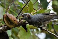 秋の味覚を頂きます・・・ヒヨドリさん - ベジタブルpartⅤ(鳥と共に日々是好日)