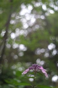 八景島の紫陽花 - 僕の足跡