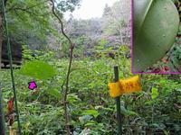 アサギマダラの卵 - 秩父の蝶