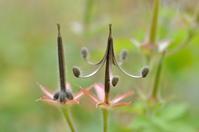 ゲンノショウコの種2 - yama10フォトライフ