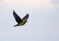 海水を飲むアオバトの様子・・・ - 一期一会の野鳥たち