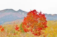 乗鞍高原の大カエデの紅葉がピーク間近です!! - 乗鞍高原カフェ&バー スプリングバンクの日記②