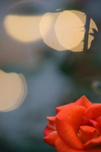 本日の旧古河庭園ばらがバラ。300mm望遠レンズ - みるはな写真くらぶ