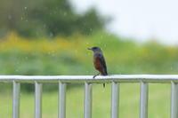 イソヒヨドリ10月14日-2 - 旧サンヨン野鳥撮影放浪記