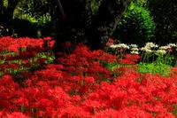 世尊寺(比曽寺跡)の彼岸花たち - 花景色-K.W.C. PhotoBlog