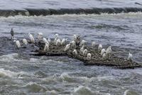 多摩川はまだ流れが速いです - あだっちゃんの花鳥風月