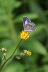 ヤクルリ♀とその他のチョウたち - 蝶超天国