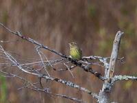 戦場ヶ原のアオジ - コーヒー党の野鳥と自然 パート2