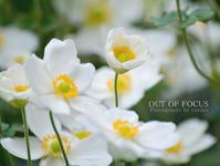 庭の秋明菊 - 焦点を合わせて out of focus