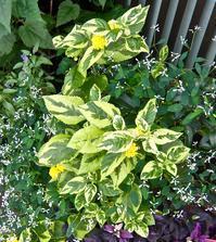 斑入り葉で,黄色のランタナです - 楽餓鬼