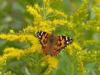 キタテハブタクサの蝶 - 蝶のいる風景blog