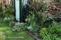 秋から楽しむ花苗GET♪今日のザ・フェアリー - miyorinの秘密のお庭