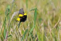 黄金鳥3 - 比企丘陵の自然