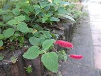 キャッツテール - だんご虫の花