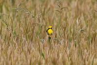 オウゴンチョウその2 - 私の鳥撮り散歩