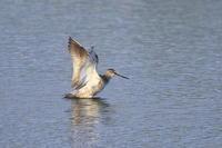 ツルシギ西日を受けて - 気まぐれ野鳥写真