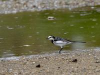 河川敷で探鳥 - 下手の横好き