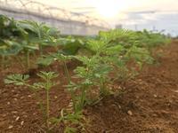 秋野菜の成長 - 週末農夫コーディーのイケてる鍬の振るい方