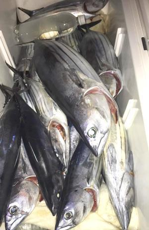 常磐沖はカツオがいっぱい - ビッグゲームルアーズ 最新オフショアブログ カジキ・マグロトローリング