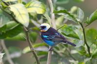 コスタリカの野鳥(その3)- アレナル火山周辺 - oto-のPhoto Gallery