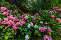 紫陽花と初夏の花々(智積院) - 花景色-K.W.C. PhotoBlog