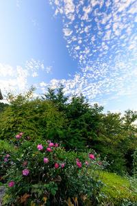 秋明菊咲く山寺(善峯寺) - 花景色-K.W.C. PhotoBlog