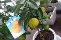 柚の木 - ヨモギ日記