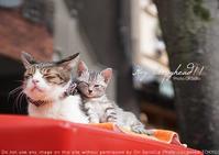 通りすがりの親子猫を sony α7RIII + SEL55F18Z 実写 - 東京女子フォトレッスンサロン『ラ・フォト自由が丘』-写真とフォントとデザインと現像と-