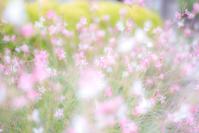 Gaula - Une fleur