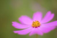 Cosmos - Une fleur