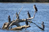 こんなところに、6羽のウミウ?! - 湿原と海のそばで