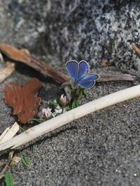 ミヤマシジミ - 自然を楽しむ