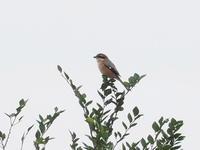 樹冠のモズ - コーヒー党の野鳥と自然 パート2