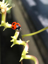 楽しいてんとう虫の観察 - piecing・針仕事と庭仕事の日々