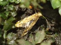 金色のすごくちいさい蛾 - 写ればおっけー。コンデジで虫写真