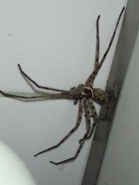 アシダカグモ おすHeteropoda venatoria - 写ればおっけー。コンデジで虫写真