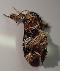ツマキリヨトウの一種 Callopistria - 写ればおっけー。コンデジで虫写真