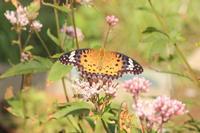 ツマグロヒョウモンフジバカマの蝶 - 蝶のいる風景blog