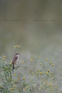 秋草にノビタキ[コセンダングサ×ノビタキ] - healing-bird