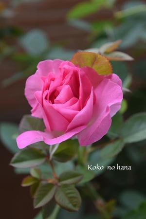 バラの先祖返り?違う花咲きました - Koko no hana