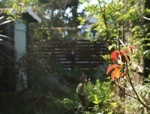 秋バラ クレマチス 秋明菊etc. 元気を取り戻してきた庭で咲くお花たち - miyorinの秘密のお庭