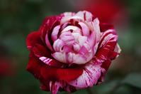 花菜ガーデン薔薇2 - 生きる。撮る。