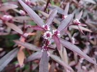 赤葉細葉千日紅 - だんご虫の花