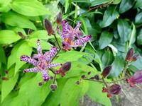 我が家の花ホトトギス咲く - 風の便り