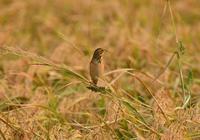 黄金ホオアカ - 可愛い野鳥たち 2