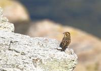 コホオアカは、数少ない旅鳥として渡来 - THE LIFE OF BIRDS ー 野鳥つれづれ記